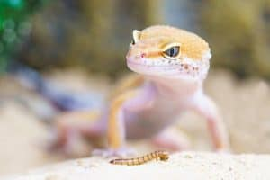 Best Substrate for Leopard Gecko