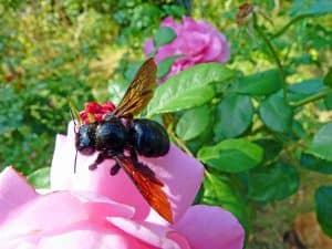 Do Carpenter Bees Bite