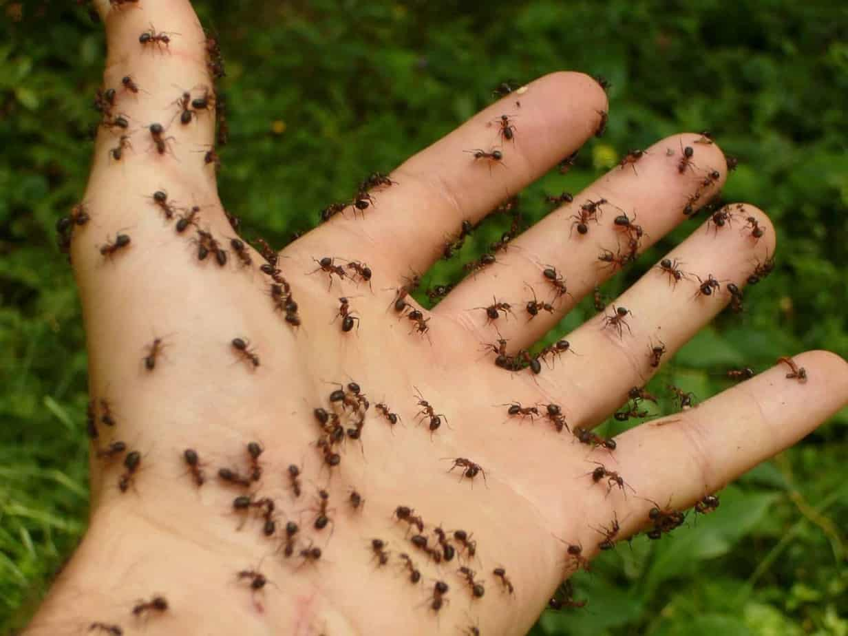 Bed Bugs vs  Ants (Tell Them Apart)