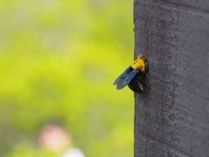 How to Get Rid Of Carpenter Bees without Killing Them