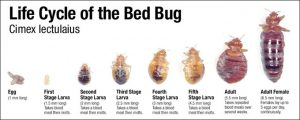 Bed Bugs Lifecycle