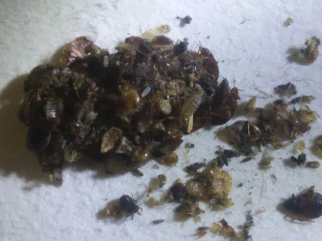 99+ Pictures of Bed Bugs: Check These Bugs