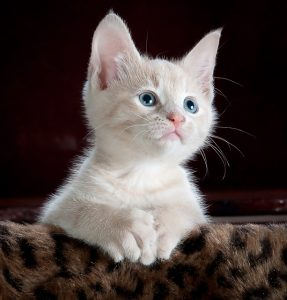 Best Flea Treatment for Kittens