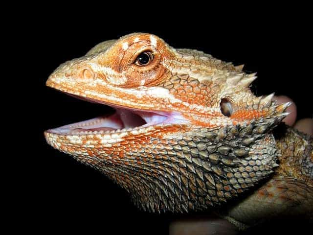 How Smart are Bearded Dragons?
