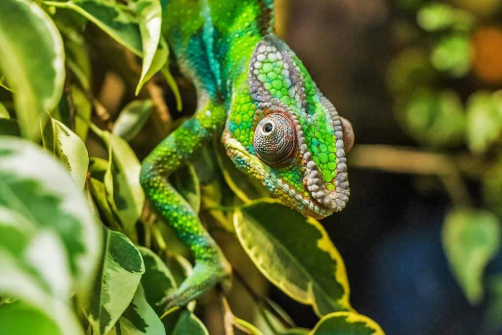 What Do Chameleon Colors Mean?