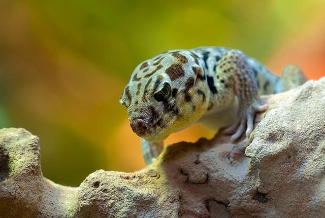 Is Wall Gecko Poisonous If Eaten
