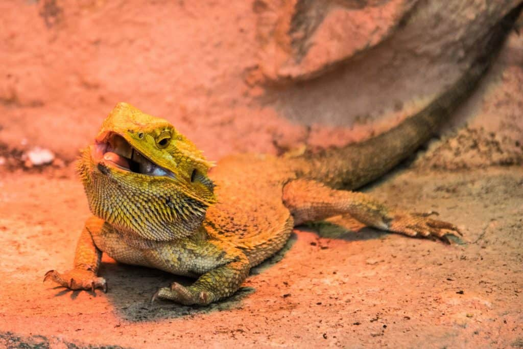 Bearded Dragon in a rocky background