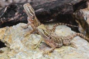 What Should I Feed My Bearded Dragon