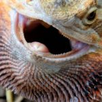 How Smart are Bearded Dragons