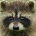 What Smells Do Raccoons Hate
