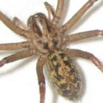 What Is A Hobo Spider