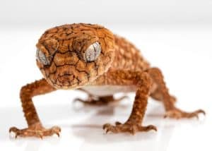 Do Geckos Eat Bed Bugs