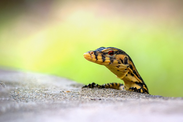 Are Monitor Lizards Poisonous