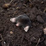 How Can You Tell If You Have Moles in Your Yard